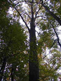 Canadian Oak Tree in the Forest of Ontario